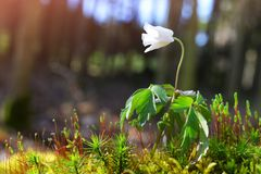 Beautiful white flower of Anemone Nemorosa. Stock Photography