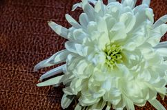 Beautiful white flower on dark background stock image