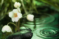 Beautiful white flower among the black stones  in the rain Stock Photography