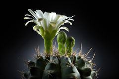 Beautiful white flower from cactus Stock Photos