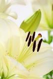 Beautiful white flower closeup daylilies. Royalty Free Stock Image
