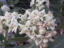 Beautiful white flower, Crown Flower. Giant Indian Milkweed, Gigantic Swallowwort , Calotropis Gigantea stock photography