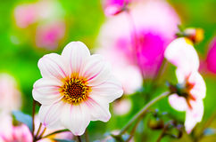 Beautiful white flower. In a garden Royalty Free Stock Photo