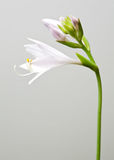 Beautiful white flower on gray background Stock Images