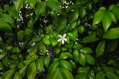 Beautiful white flower on green leaves bush garden backgroun nig. Ht time Royalty Free Stock Image