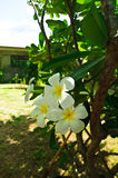 Beautiful white flower, Lan thom flower. Beautiful white flower in thailand, Lan thom flower Royalty Free Stock Photo