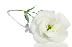 Beautiful white flower with leaves.  Eustoma Royalty Free Stock Image