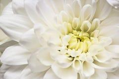 Beautiful white flower macro Royalty Free Stock Photos