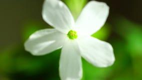 Beautiful white flower macro stock video footage
