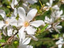 Beautiful white flower of Magnolia Kobus. In sunlight royalty free stock photos