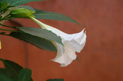 Beautiful white flower in Marrakech's medina Royalty Free Stock Image