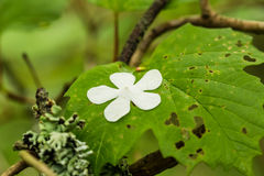 Beautiful white flower petals fallen on leaves in forest after the rain. Decorative look. Shallow depth of field closeup macro photo Stock Image