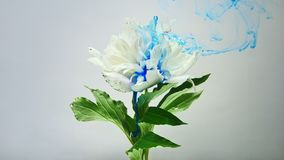 On beautiful flowers pouring paint. A beautiful white flower is pouring paint on a white background. Slow shooting in 4K format stock video