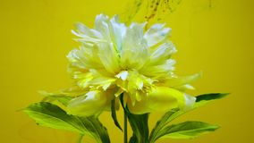 On beautiful flowers pouring paint. A beautiful white flower is pouring paint on a colored background. Slow shooting in 4K format stock footage
