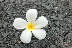 The beautiful white flower on the road Stock Photo