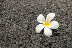 The beautiful white flower on the road Royalty Free Stock Images
