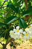 Beautiful white flower. In thailand, Lan thom flower Stock Photo