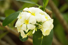 Beautiful white flower in thailand, Lan thom flower Royalty Free Stock Images