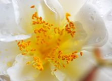 Beautiful White Flower with Yellow Stamen. And small droplets of water on the petals stock images