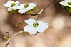 Beautiful White flowering dogwood blossoms. Flowering dogwood blossoms against a soft background. Extreme shallow depth of field with selective focus on center stock photography