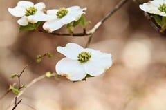 Beautiful White flowering dogwood blossoms stock photography