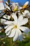 Beautiful white flowering magnolia - flowering tree. Magnolia stellata. Park in Lodz Stock Photos