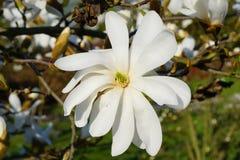 Beautiful white flowering magnolia - flowering tree. Magnolia stellata. Park in Lodz Royalty Free Stock Photo