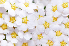 Beautiful white flowering shrub Spirea aguta Royalty Free Stock Photography