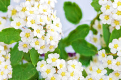 Beautiful white flowering shrub Spirea aguta (Brides wreath). Royalty Free Stock Image