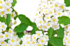 Beautiful white flowering shrub Spirea aguta (Brides wreath). Stock Photos