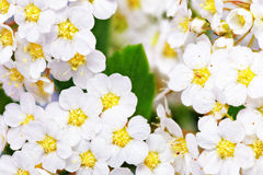 Beautiful white flowering shrub Spirea aguta (Brides wreath). Stock Image