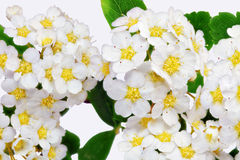 Beautiful white flowering shrub Spirea aguta (Brides wreath). Royalty Free Stock Photo