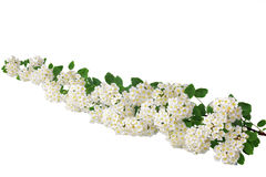 Beautiful white flowering shrub Spirea aguta (Brides wreath). Stock Photography