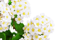 Beautiful white flowering shrub Spirea aguta (Brides wreath). Royalty Free Stock Photography