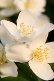 Beautiful white flowers Royalty Free Stock Photos
