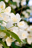 Beautiful white flowers Stock Photo