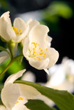 Beautiful white flowers Royalty Free Stock Image