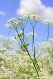 Beautiful white flowers Royalty Free Stock Photos
