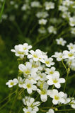 Beautiful White Flowers Royalty Free Stock Photo
