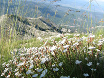 Beautiful white flowers. On the top of the mountain Biokovo, Croatia Royalty Free Stock Images