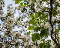Beautiful white flowers of apple trees in the garden of spring e Royalty Free Stock Images