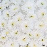Beautiful white flowers background Royalty Free Stock Images