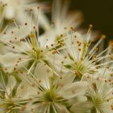 Beautiful white flowers of bird cherry. Beautiful gentle white flowers of bird cherry flowering in the garden Stock Photography