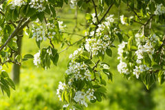 Beautiful white flowers blooming apple trees Stock Photography