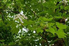 Beautiful White flowers blooming on the tree(tung tree flower