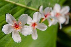Beautiful White flowers blooming (tung tree flower