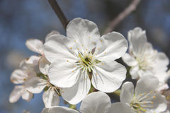 Beautiful white flowers of blossoming cherry-tree Stock Images