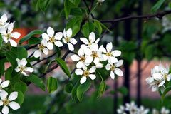 Branch of a blossoming tree Stock Images