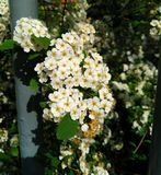 Beautiful white flowers on the branches of trees. 2019 royalty free stock photos