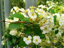 Beautiful white flowers on the branches of trees. 2019 royalty free stock images